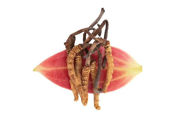 Chong cao lub cordyceps sinensis na liściu cynamonu na białym tle z wycinek path.top view, płasko świeckich.