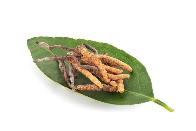 Chong cao lub cordyceps sinensis na liściu cytryny na białym tle ze ścieżką przycinającą.