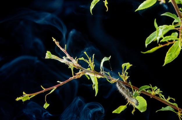 Chora wiosna roślina w ciemności z kroplami. oddział śliwki ze szkodnikami. na gałęzi śliwkowej gąsienicy i przędziorków.