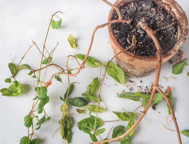 Choroby roślin. wiotkie liście, gnicie systemu korzeniowego. fuksja.