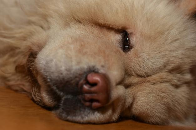 Chory pies chow-chow leży na podłodze, kaganiec, zbliżenie