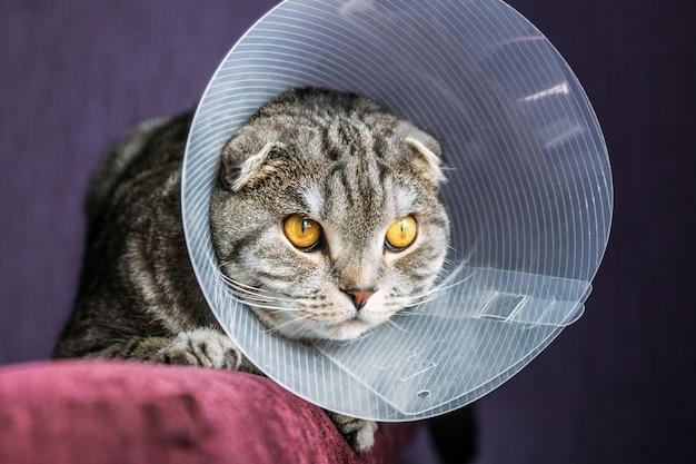 Chory szkocki kot w plastikowym kołnierzu ochronnym