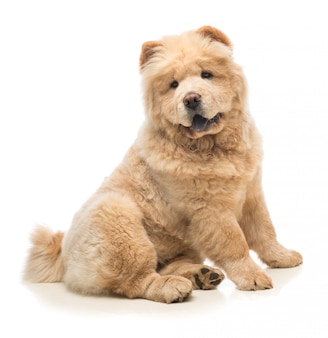 Chow-chow beżowy