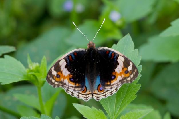 Chrysalis butterfly wiszące na liściu