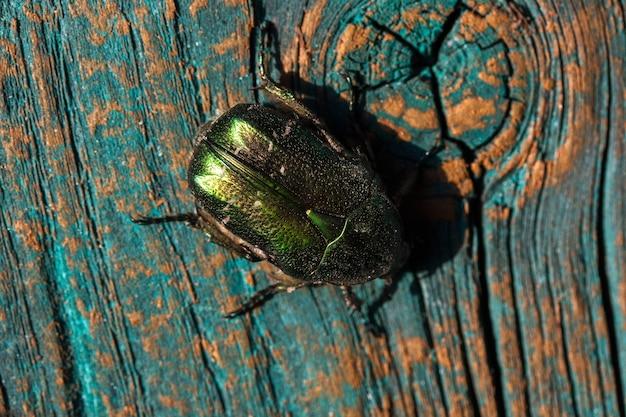 Chrysolina graminis leaf beetle na niebiesko-pomarańczowej desce. na rysunku w zbliżeniu przedstawiono chrząszcza wrotyczowego.