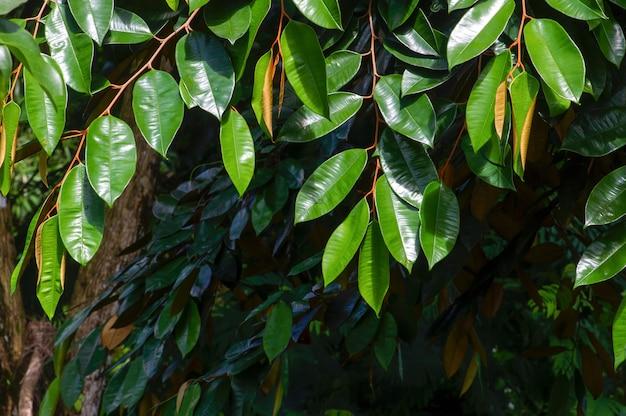 Chrysophyllum cainito, tropikalne drzewo z rodziny sapotaceae. roślina ta jest również znana jako drzewo o złotym liściu, pomme de lait, estrella, aguay, sawo duren, sawo bludru lub sawo ijo.