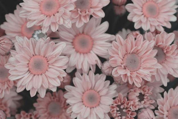 Chryzantema kolorowe kwiaty wykonane z gradientem na tle