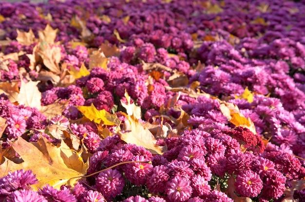 Chryzantema kwiat jesień tło z odciętymi liśćmi
