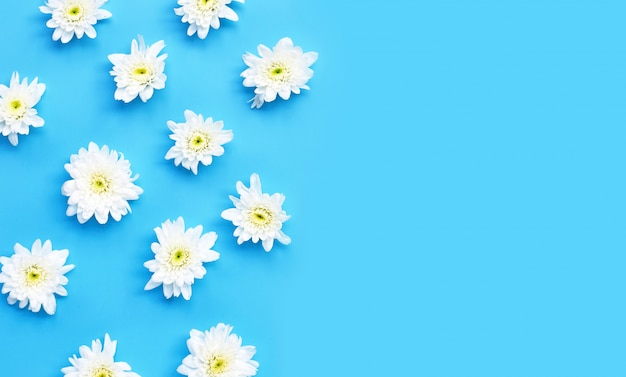 Chryzantema kwiat na błękitnym tle.