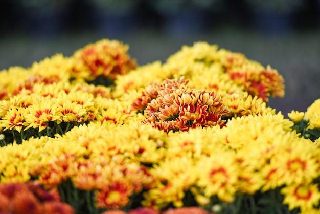Chryzantema kwiaty kwitnące dekoracje festiwal uroczystości