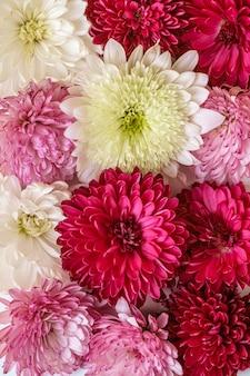 Chryzantema kwiaty różowe, fioletowe i białe tło