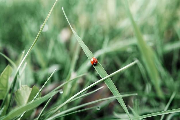 Chrząszcz biedronka czołga się na ostrzu zielone lato trawa tło naturalne