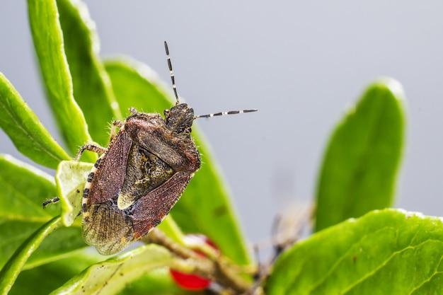 Chrząszcz brązowy siedzi na roślinie z bliska