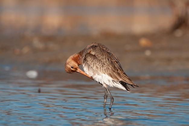 Chrząszcz czarny, limosa limosa, samotny ptak w wodzie, który czyści swoje pióra.