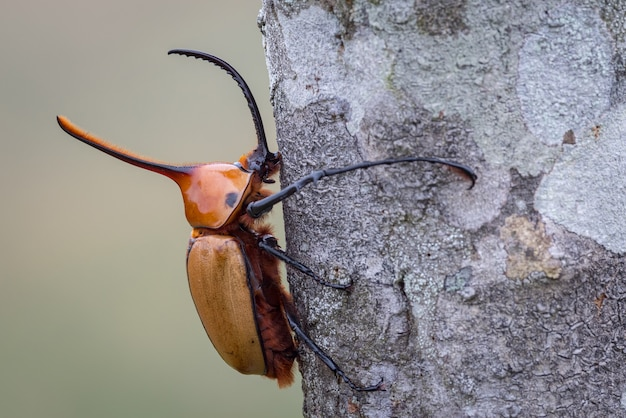 Chrząszcz nosorożca przytulający pień drzewa