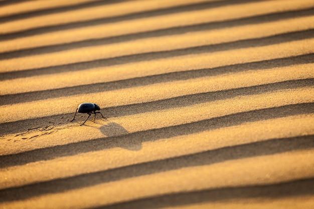 Chrząszcza skarabeusza (scarabaeus) na pustynnym piasku