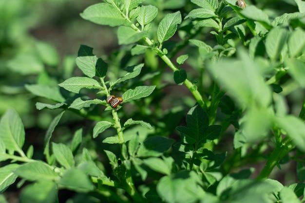 Chrząszcze colorado jedzą ziemniaki w ogrodzie.