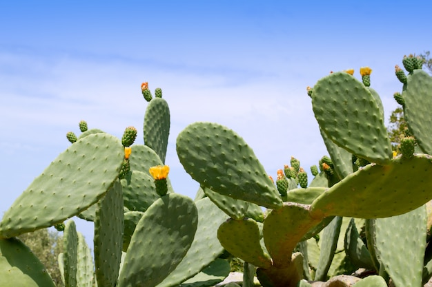 Chumbera nopal kaktus roślina typowa śródziemnomorska
