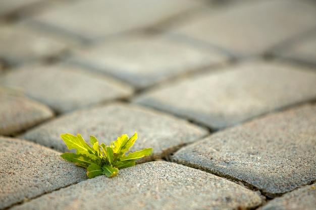 Chwasty rosnące między betonowymi cegłami chodnikowymi.