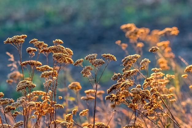 Chwasty w ogrodzie przy słonecznej jesiennej pogodzie