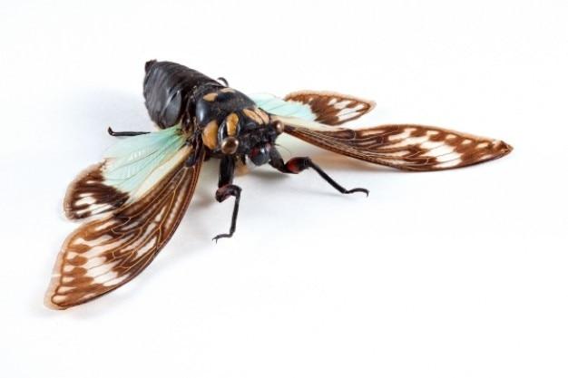 Cicadidae sp. cykada
