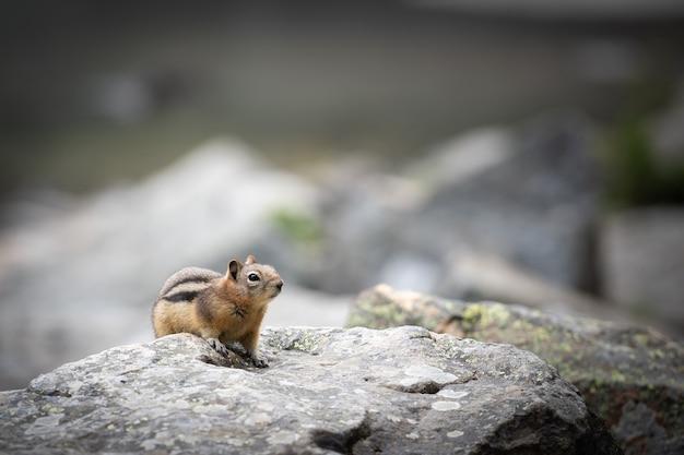 Ciekawa eksploracja wiewiórek w lake louise, park narodowy banff, kanada