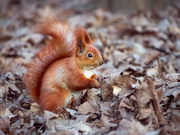 Ciekawa wiewiórka europejska.
