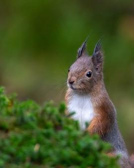 Ciekawa wiewiórka, która wygląda zza mchu.