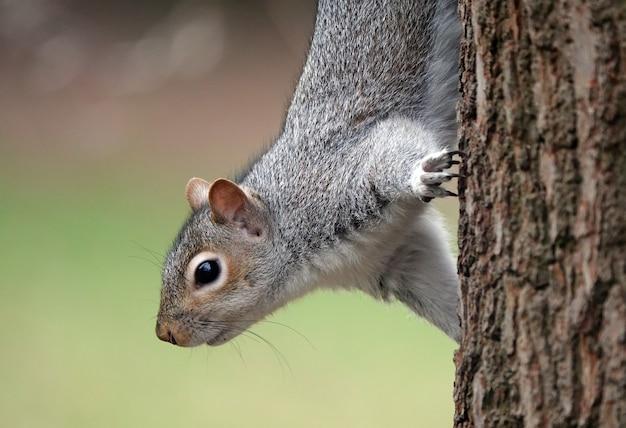 Ciekawa wiewiórka na drzewie, spoglądająca w dół, zastanawiająca się, gdzie znaleźć żołędzie do jedzenia