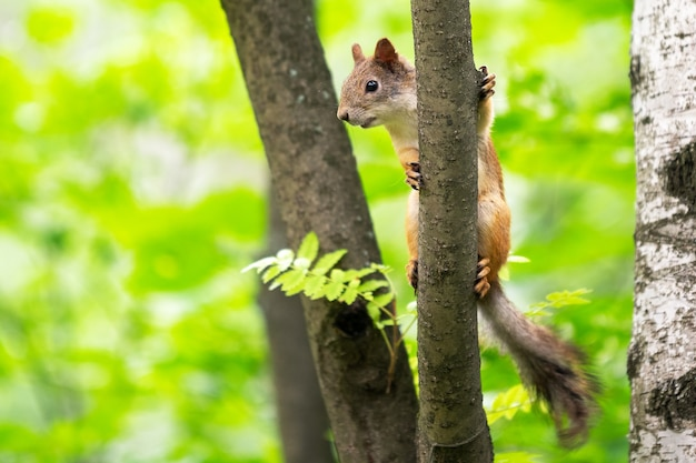 Ciekawa wiewiórka na drzewie w jego naturalnym środowisku