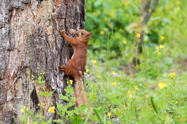 Ciekawa wiewiórka zaglądająca za pnia drzewa trzymając w ustach szyszka.