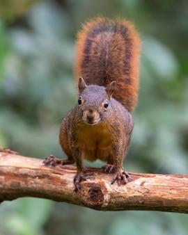 Ciekawska wiewiórka wpatrująca się w martwą kłodę