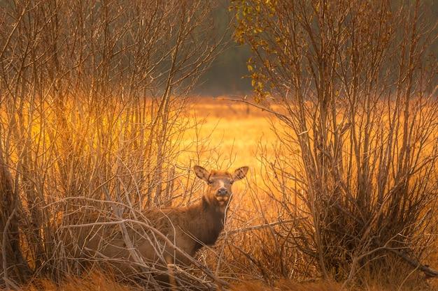 Ciekawski jeleń w zaroślach w parku narodowym rocky montain