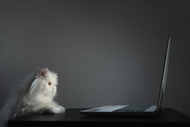 Ciekawy biały kot perski patrzy na ekran laptopa