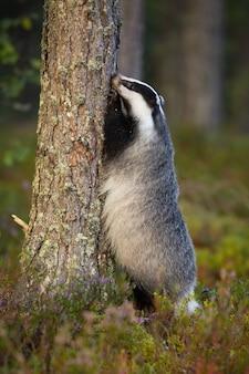 Ciekawy borsuk wspinaczka na drzewie