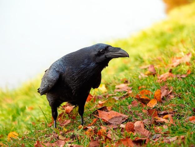Ciekawy duży czarny kruk pozuje na jesiennej łące, portret czarnego kruka.