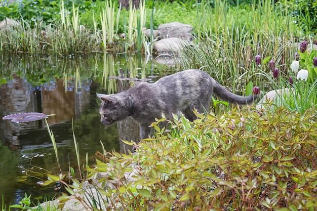 Ciekawy kot, patrząc na staw otoczony rośliny ogrodowe wiosną, próbując złapać rybę