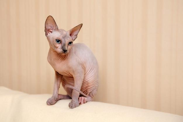 Ciekawy mały kociak rasy sfinks kanadyjski.