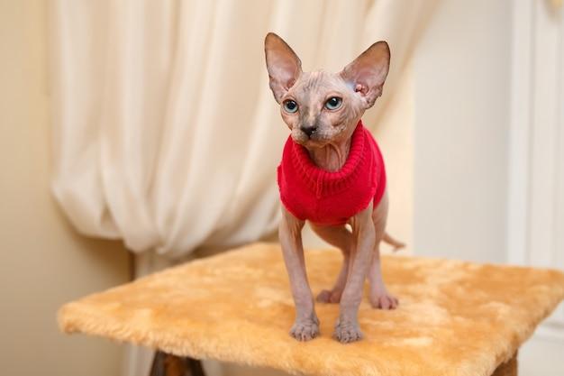 Ciekawy mały kotek rasy sfinks kanadyjski w czerwonej kurtce