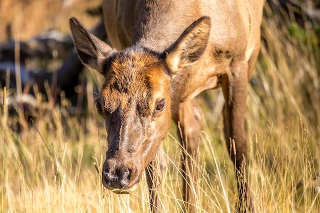 Ciekawy mały łoś pasący się w parku narodowym yellowstone