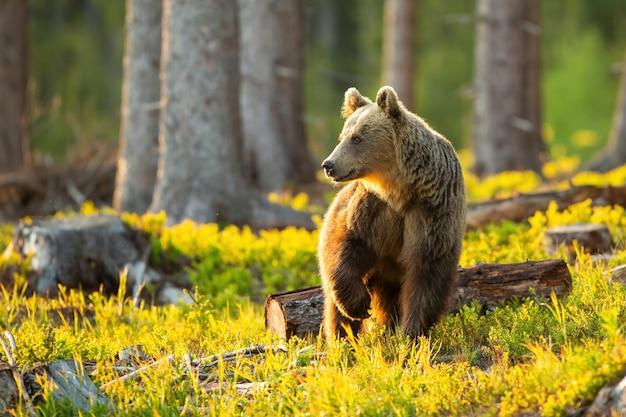 Ciekawy niedźwiedź brunatny, ursus arctos, spoglądający na bok z nogą uniesioną w powietrze w nasłonecznionym lesie z masywnymi świerkami