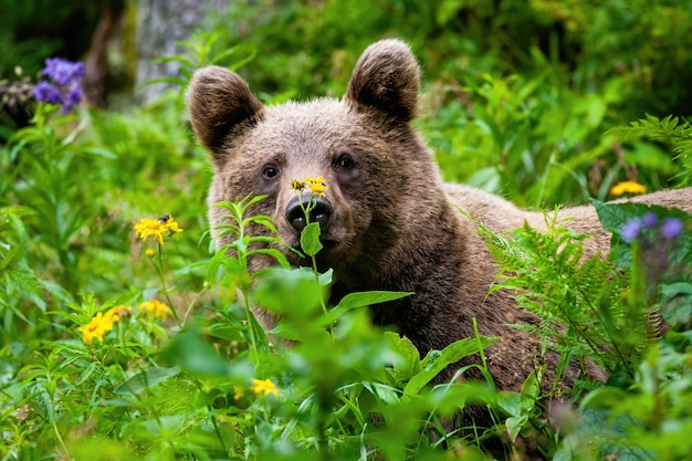 Ciekawy niedźwiedź brunatny wpatrujący się w letnią zieleń.