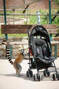 Ciekawy ogoniasty lemur