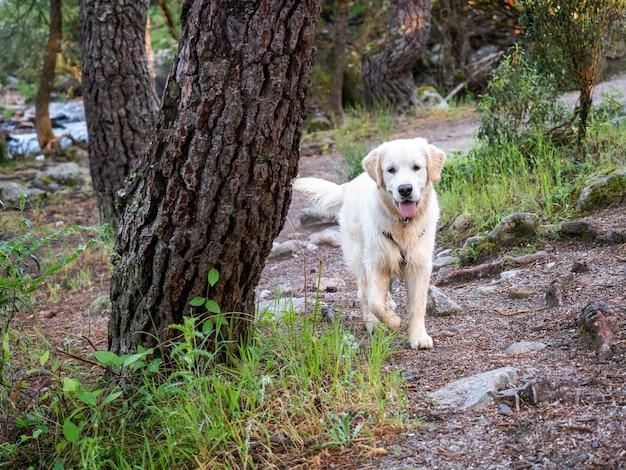 Ciekawy pies spaceru w lesie. piesek z uprzężą spaceru w lesie w słoneczny dzień.