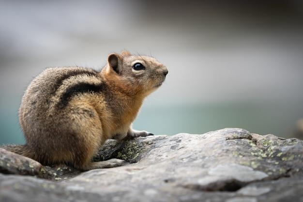 Ciekawy portret wiewiórki zbliżenie, w lake louise, park narodowy banff, kanada
