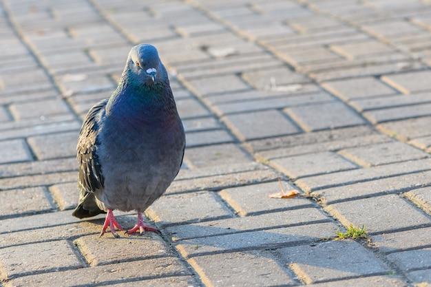Ciekawy ptak gołąb spaceru na chodniku w parku miejskim. zamknąć widok