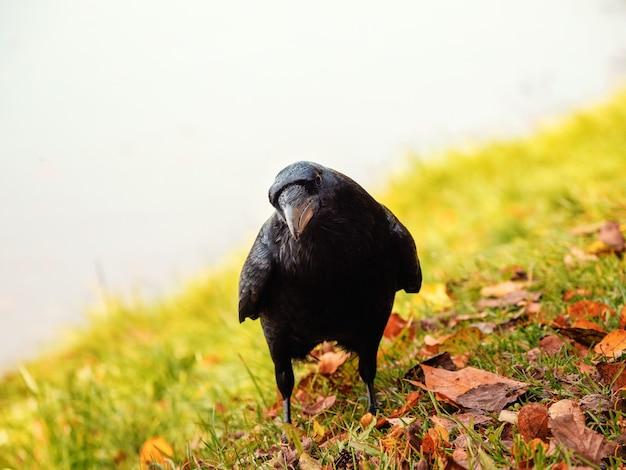Ciekawy wielki czarny kruk patrzy prosto w kamerę i pozuje na jesiennej łące, portret czarnego kruka.