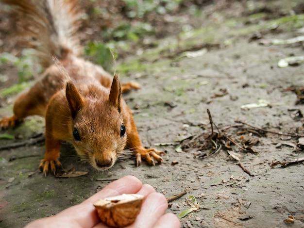 Ciekawy wiewiórka z bliska.