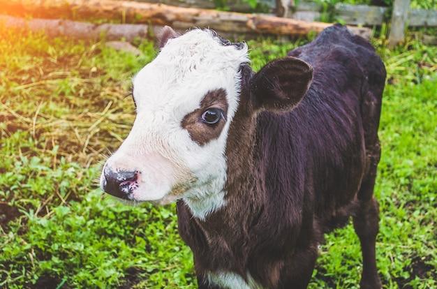 Cielę byka krowa w zagrodzie wsi.