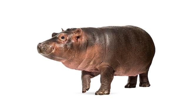 Cielę hipopotama, 3 miesiące, izolowane, hippopotamus amphibius